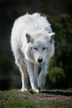 EeE Kurt • 0mnis-e: Artic wolf, By Justin Lo
