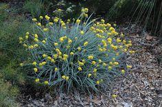 Australian Plant Image Index conostylis candicans Bush Garden, Dry Garden, Garden Beds, Coastal Gardens, Beach Gardens, Outdoor Gardens, Australian Native Garden, Australian Plants, Front Yard Plants