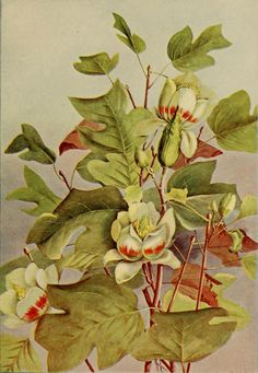 Tulip Tree. Illustration by Ellis Rowan taken from 'A Guide to the Trees' (1900) by Alice Lounsberry.