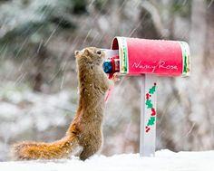 La Photographe Canadienne Nancy Rose ayant Remarqué que les Ecureuils au Fond de son Jardin étaient Particulièrement Peu Farouches, a Décidé de les Photographier dans des Décors Miniatures en les Attirant grâce à des Cacahuètes … Des Photos Amusantes