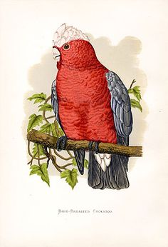 Rose-Breasted Cockatoo - Great resource for vintage botanical/animal prints