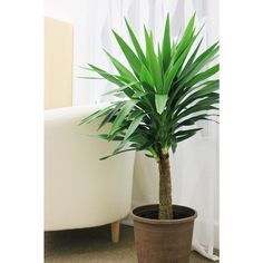 Delray Plants Yucca Cane 1pp in 8-3/4 in. Pot-10YC1 - The Home Depot