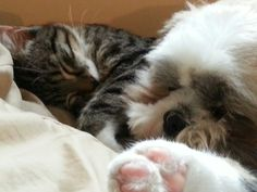 Sweet kitty with cute dog! Can you ever seen such a lovely cat? Yay! Shih tzu are sweet!