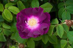 Pirjo Raution risteyttämä ranskanruusu x sammalruusu.  Merveille – Rosa gallica - Hongiston TaimistoHongiston Taimisto Woodland Plants, Outdoor Areas, Permaculture, Marvel