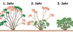 Schnittanleitung Rhododendron