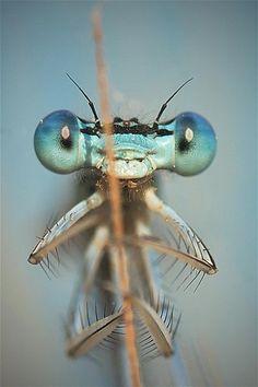 Image: Big-eyed damselfly says hello (© Barcroft Media/Remus Tiplea)