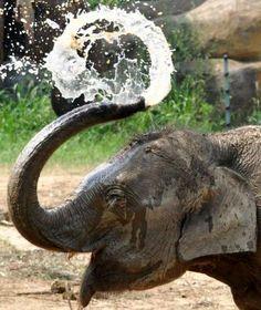 Elefant lacht sich Wasser aus dem Rüssel