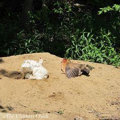 Chicken Coop Bedding: Sand, the Litter Superstar
