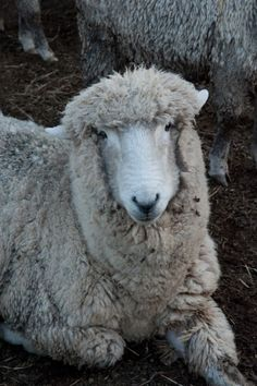 Corriedale sheep, weighs almost 400 pounds Farm Animals, Animals And Pets, Cute Animals, Alpacas, Uk Election, Wooly Bully, Baa Baa Black Sheep, Sheep And Lamb, Lord Is My Shepherd