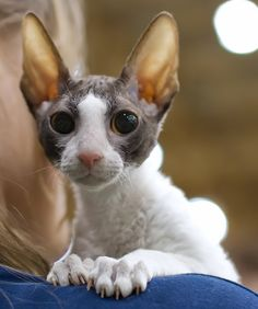 I have a Cornish Rex and she is more like a water loving, cuddle-bunny, playful, dog. I have allergies, but am fine with her. She has so much personality and very soft, short wavy hair.  VERY little shedding if any.