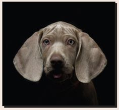 Weimaraner...a daily visitor!