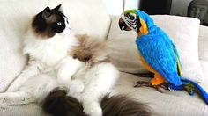Funny Parrots Annoying Cats so funny videos Funny Videos, Funny Animal Videos, Funny Animals, Cute Animals, Funny Birds, Funny Cats, Gatos Ragdoll, Talking Parrots, Challenges Funny