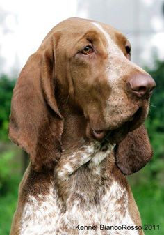 Bracco Italiano Dogs Puppies Dog Puppy Pup