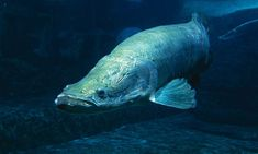 The arapaima, a giant Amazon river fish that can grow longer and heavier than a human adult, is at risk of extinction, according to a new study. Overfishing and errors in classification are believed to have left the world's largest scaled freshwater fish critically endangered.