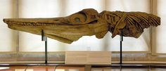 Lyme Regis, UK Copy of the first Ichthyosaur skull found by Mary Anning and her brother Joseph in The original is in the Natural History Museum, . Natural History Museum London, Collections D'objets, Evolutionary Biology, Lyme Regis, Mineralogy, Vertebrates, Zoology, Skull And Bones