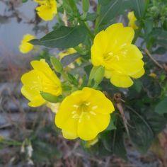 #달맞이꽃 #flower #korea #hanbros Yellow Flowers, Plants, Korea, Tattoo, Tattoos, Plant, Korean, Tattos, Planets