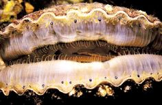 Acidic water blamed for West Coast scallop die-off