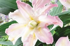 Double Oriental Lilies 'Miss Lucy'