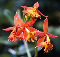 Epidendrum Orange Firestar  Epidendrum. Crucifix Orchids, Reedstem Orchid. Reed Stem Orchid or Reed Orchid. #orchid #epidendrum