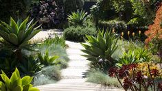Designing with sculptural plants. This garden by Georgina Martyn shows a clever method of using hints of architectural planting in a full garden approach. She has used Agave attenuata as the sculptural accent planting amongst an array of other softer shapes such as Aeonium, Festuca, Iris and Kniphofia, and Rosmarinus, just to name a few. Read more...
