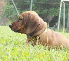 Alpine Dachsbracke / Austrian Alpenländische Dachsbracke Dog