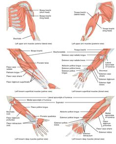 The muscles originating in the upper arm flex, extend, pronate, and ...