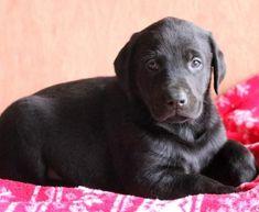 Spike   Doberman Pinscher Mix, Lab Mix Puppy For Sale   Keystone Puppies Lab Mix Puppies, Black Lab Puppies, Puppies For Sale, Doberman Puppy Red, Red Doberman Pinscher, Dobermans, Labrador Retriever, Children, Dogs