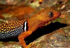 Male collared gecko (Gonatodes concinnatus) - Google Search