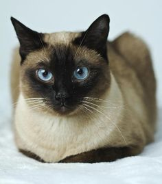 Good Screen persian siamese cats Thoughts Siamese cats and kittens work best better known for their modern, streamlined our bodies, foamy coats in addi Siamese Kittens, Cute Cats And Kittens, I Love Cats, Crazy Cats, Cool Cats, Pretty Cats, Beautiful Cats, Grand Chat, Baby Animals