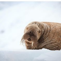 #wildlife #photography feature: �� @lnixpix  One of the most talented photographers to ever join our family of wildlife ambassadors. #conservation #wildlifephotography #walrus #pole #chilling #photographer #wildlifeaddicts http://tipsrazzi.com/ipost/1524564232536158748/?code=BUoVxeNlXIc