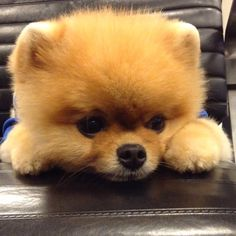 Adorable Jiff the Cutest Pomeranian Dog