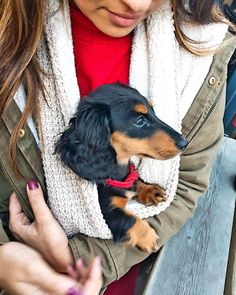 The most annoying, cutest, lovable and infuriating bundle of fur that ever existed . Dachshund Funny, Dachshund Rescue, Dapple Dachshund, Long Haired Dachshund, Dachshund Puppies, Weenie Dogs, Dachshund Love, Corgi Dog, Cute Puppies