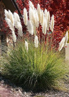 Top 10 Ornamental Grasses for Containers - Top Inspired-- Top 10 Ornamental Grasses for Containers Dwarf Pampas Grass Ornamental Grass Landscape, Ornamental Grasses, Tall Grasses, Garden Shrubs, Garden Plants, Garden Beds, Garden Stairs, Shade Garden, Cactus Plants