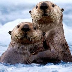 Otters. Too cute! #otter #cute #cuteanimals By: Unknown #photooftheday #dogs #dog