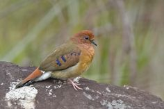 Blue-eyed Ground-dove rediscovered in Brazil » Focusing on Wildlife