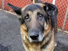 """((SUPER URGENT 3/30/15)) Manhattan Center """"RUSSELL"""" - A1031496 MALE, BLACK / BROWN, GERMAN SHEPHERD, 8 yrs STRAY - STRAY WAIT, NO HOLD Reason STRAY- DueOut Date 03/30/2015, https://www.facebook.com/Urgentdeathrowdogs/photos/a.617942388218644.1073741870.152876678058553/985666511446228/?type=3&theater PLS HELP SAVE THIS SAD BEAUTIFUL BOY! HIS SOULFUL EYES SAY IT ALL."""