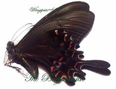 Papilionidae : Heraclides hectorides melanic f - The Bugmaniac INSECTS FOR SALE BUTTERFLIES FOR SALE BUTTERFLIES BY ECOZONE NEOTROPICAL ECOZONE PAPILIONIDAE