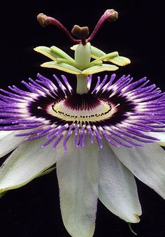Passion Flower | Cool Places