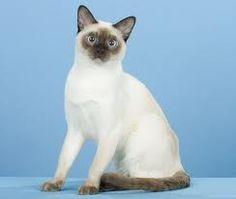 www.petclic.es la mayor tienda online de productos para #mascotas. La mayor biblioteca de contenido y consejos sobre mascotas. 1.000 consejos. 50.000 imágenes. Foto del #gato #tonkines