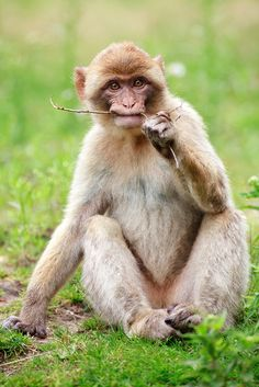 Barbary Macaque | Flickr - Photo Sharing!