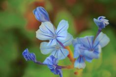 Blue ray flowers with young buds by Shreeharsh Ambli on 500px