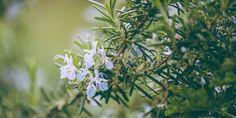 Φροντίδα δεντρολίβανου Green Flowers, White Flowers, Planting Shrubs, Root System, Deciduous Trees, Types Of Soil, Evergreen, Perennials, Herbalism