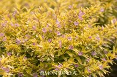 Monrovia's Riverdene Gold False Heather details and information. Learn more about Monrovia plants and best practices for best possible plant performance.