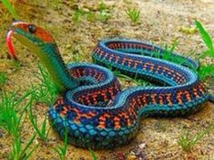 The most colorful snake: California red sided garter snake