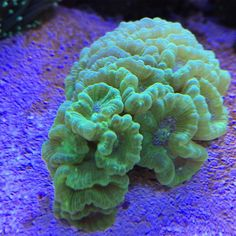 One of my fastest growing corals I feel like.  #coral #reeftank #coralreeftank #reef #reefpack #reef2reef #reefcandy #reefersdaily #reefrEVOLution #coralreef #coraladdict #reefaholiks #reefjunkie #reeflife #instareef  #allmymoneygoestocoral #instareef  #reefpackworldwide