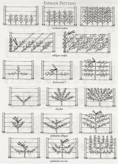 Espalier it's a system of growing dwarf fruit trees on espaliers where they are…