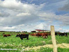 En la carretera de acceso a la Bardena Blanca, pasamos por la Finca de la Ganadería Ustarroz, donde preciosas vacas y toros pastan la finca tranquilamente. De esta ganadería es el TORO BURGALÉS, famoso por las escapadas que realiza en las fiestas de los pueblos. En Valtierra, hace dos años estuvo varias semanas escapado, totamente libre, por los campos cercanos al río ebro.