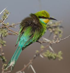 bee eater reveals its untouched-up roots, via Flickr.