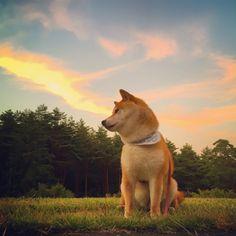 Shiba / かぼすちゃんとおさんぽ。