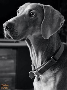 Beautiful Weimaraner   #Weimaraner #celebritydog #WeimLove #BirdDog #Weimlife #greyghost #grayghost #dogs #PawsitiveDogma #pets